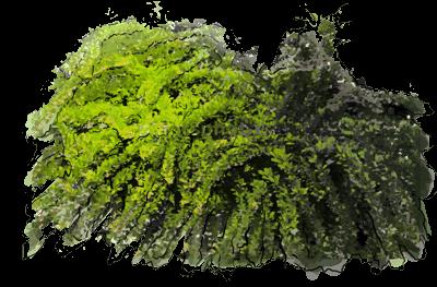 Berberys thunberga quotgreen carpetquot encyklopedia roslin for Green carpet png