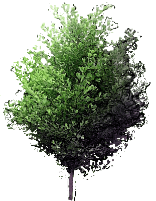 Maidenhair Tree 'Saratoga'