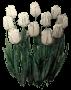 """Tulipan """"Evita"""""""