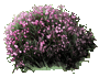 "Modrzewnica polifolia ""Compacta"""
